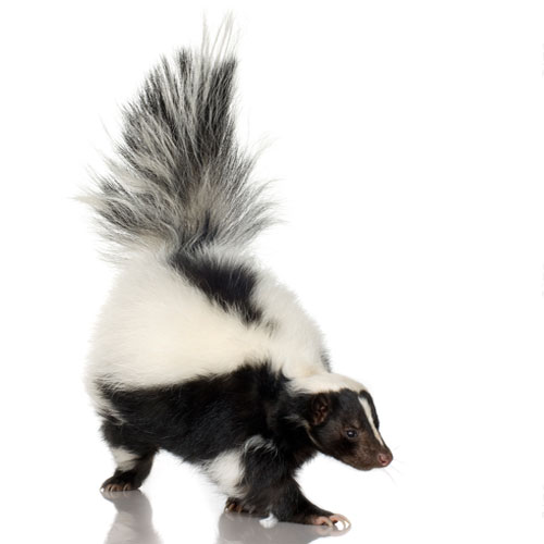 Skunk Removal Ottawa Getting Rid Of Skunks Capital